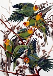 "Carolina Parrot from John James Audubon's ""Birds of America"""